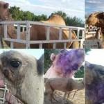 Rescatan camello abandonado por circo en Sonora