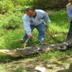 Rescatan a cocodrilos de pantano en Tamaulipas