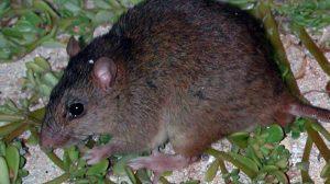 roedor-australiano