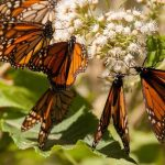 WWF y Fundación Telmex organizan 5° Simposio sobre la Monarca