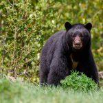 ¿El oso es como lo pintan?