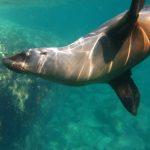 Suspenden nado con lobos marinos en BCS