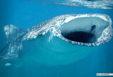Inicia la temporada de tiburón ballena en Bahía de los Ángeles