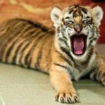 Hallan cachorro de tigre de bengala en paquetería de Jalisco