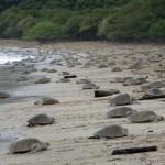 Las costas de Nicaragua reciben a tortugas en riesgo
