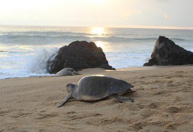 Tortugas marinas comienzan a llegar a las playas de Michoacán