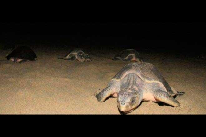 tortugas-guerrero01
