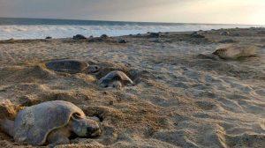 tortugas-quelonios