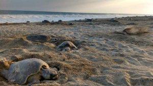 tortugas-tulum