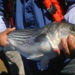 Lanzan alerta para abatir pesca y tráfico ilegal de totoaba