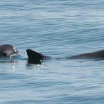 Recomiendan plan de emergencia para salvar vaquita marina
