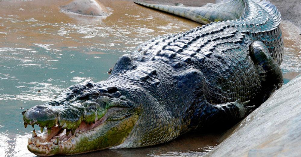 Crocodylus moreletii reproduccion asexual en