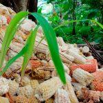 Niño crea vasos biodegradables con olotes