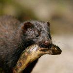 Visón europeo puede extinguirse en cinco años: WWF