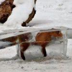 Zorro sepultado en un bloque de hielo refleja ola de frío en Europa